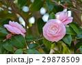 つばき 椿 椿の花の写真 29878509