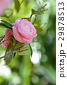つばき 椿 椿の花の写真 29878513