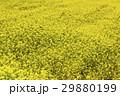 菜の花畑 29880199