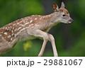エゾシカ シカ 動物の写真 29881067