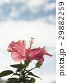 ハイビスカス 花 ピンクの写真 29882259