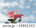 ハイビスカス 花 ピンクの写真 29882263