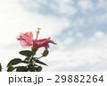 ハイビスカス 花 ピンクの写真 29882264