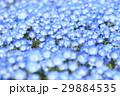春の花壇、青い花 29884535
