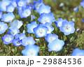 春の花壇、青い花 29884536