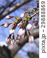 桜 蕾 29888869