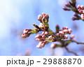 桜 蕾 29888870