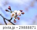 桜 蕾 29888871