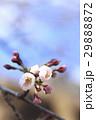 桜 蕾 29888872