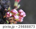 桜 蕾 29888873