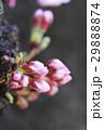桜 蕾 29888874