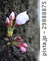 桜 蕾 29888875