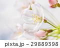 ソメイヨシノ 春 桜の写真 29889398