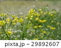 花 黄色 植物の写真 29892607
