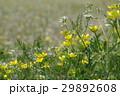 花 黄色 植物の写真 29892608