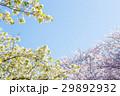 桜 青空 花の写真 29892932