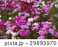 コスモス 秋桜 大春車菊の写真 29893970
