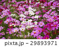 コスモス 秋桜 大春車菊の写真 29893971