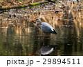 アオサギの捕食 小金井公園 29894511