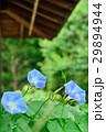朝顔 花 植物の写真 29894944