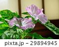 朝顔 花 植物の写真 29894945