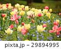 花 チューリップ 満開の写真 29894995