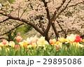 チューリップ 桜 満開の写真 29895086