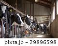 牛舎 女性 29896598