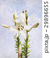 Watercolor white lily 29896655