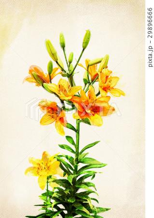 Watercolor yellow lilyのイラスト素材 [29896666] - PIXTA