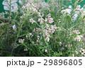 ライスフラワー 花 29896805