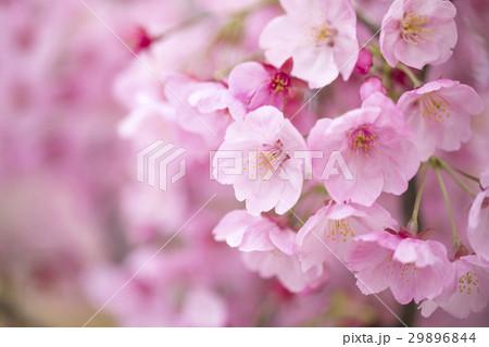 陽光桜 29896844