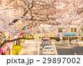 桜 桜並木 中野通りの写真 29897002