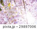 桜 サクラ さくらの写真 29897006