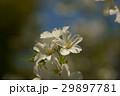 花 桜 大島桜の写真 29897781