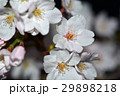 桜 29898218