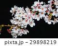 桜 29898219