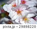 桜 29898220