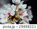 桜 29898221