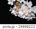 桜 29898222