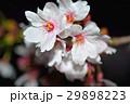 桜 29898223