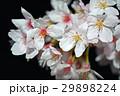 桜 29898224