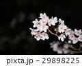 桜 29898225