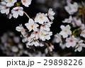 桜 29898226