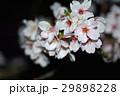 桜 29898228