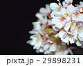 桜 29898231