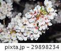 桜 29898234