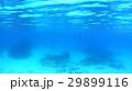 沖縄 阿嘉島のニシハマビーチのウミヘビ 水中写真 29899116
