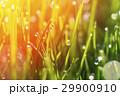 草 グリーン 緑の写真 29900910