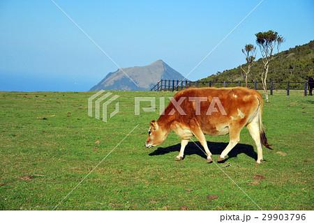 八丈島、牛、茶 29903796